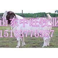 供应 优良小尾寒羊 母羊 羊羔 中旺养殖场