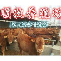 适合放养的牛品种去哪买鲁西黄牛犊
