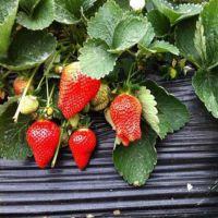 沧州法兰地草莓苗_乾纳瑞农业科技_法兰地草莓苗价格