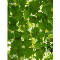 欧洲小叶椴青岛抬头园林精品椴树小树苗