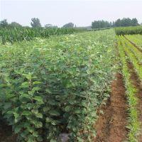红富士苹果苗 泰山果树园艺场 产品质量好 无病虫害