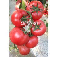 供应 大果型 硬粉 冬季 耐寒 西红柿种子-华泽730