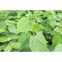 供应进口椴树欧椴欧洲小叶椴种播苗实生苗80公分左右高青岛椴树苗