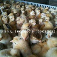 【优质鸡苗】黄脚红毛土鸡苗种苗优良品种高存活率 孵化场直销