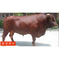 福州哪里有牛犊买≈小牛价格≈≈≈≈≈≈[品种特征:]