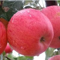 山东众彩苗木出售红富士苹果苗