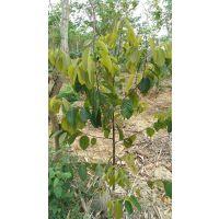 大量供应坡垒树苗,三年苗,苗高1.5米