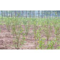 软籽石榴树苗价位_在哪能买到易成活的软籽石榴树苗