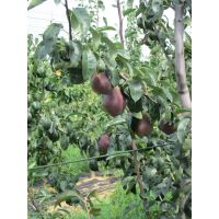 梨苗新品种 批发价格 梨树苗都有什么品种