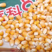 低价批发新型高产玉米种 莱科818 优质早熟玉米种子 6000粒