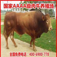 广西黄牛养殖基地直销小牛犊价格=肉牛苗=远销湖南广东湖北等地区