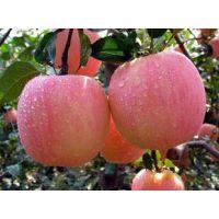 晚熟烟富6号苹果苗销售商,烟富系列苹果苗,河南哪家果树苗好