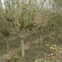 出售2至5公分木槿树苗 树形好成活率高 山东木槿树苗价格