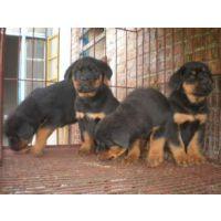 福建哪里有卖狼青犬的-2-3个月狼青犬幼犬价格
