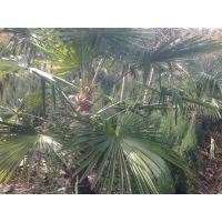棕榈苗价格1米棕榈树价格2米棕榈树价格3米棕榈价格50公分高棕榈价格