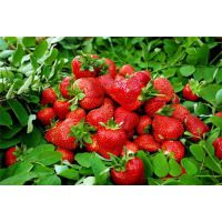 泰安草莓苗,润丰苗木,草莓苗多少钱一棵
