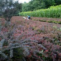 出售落叶灌木红叶小檗 绿篱用红叶小檗 规格齐全价格低廉的红叶小檗