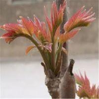 泰安果树苗基地出售高1米以上一年生红油香椿苗规格齐全价格优惠大棚香椿树苗价格
