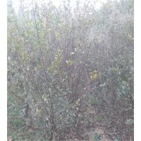 河北1公分公分榆叶梅 河北哪里有榆叶梅小苗