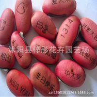 批发直销 神奇魔豆种子 迷你植物 祝福爱情相思豆批发