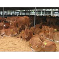 养牛饲养育肥小牛犊养殖场是益发牧业购买小牛苗