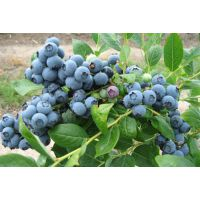 重庆蓝莓|重庆蓝莓|百色农业