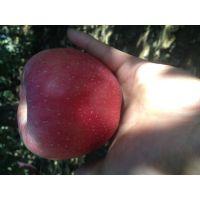 优质水晶红富士苹果的主产区
