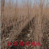 出售紫丁香一二年生苗50厘米高3-5个头