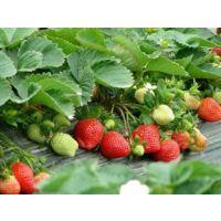 草莓苗栽培管理 红颜草莓苗高产