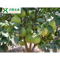 重庆柚子苗出售,柚子苗产量,柚子苗管理,柚子苗种植