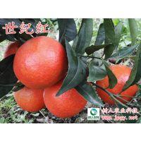 替代南丰 沙糖桔的新品种柑橘世纪红 各方面品种表现优