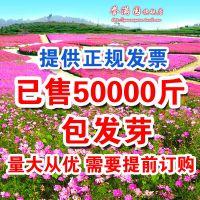 四季播种波斯菊种子格桑花种子野花组合种子绿化工程草花种子易种