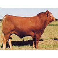 养牛的可行性报告,养牛场建设方案