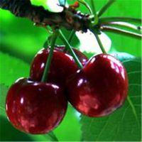 樱桃苗建园 致富良机果树苗品种樱桃苗种植 车厘子樱桃苗
