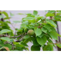 珍珠油杏种植基地在哪里 壹棵树珍珠油杏