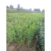 桃苗,泰安桃苗价格,桃苗种植基地,批发价,哪里便宜
