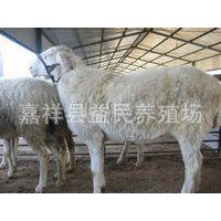 肉羊批发 收购肉羊 肉羊养殖 黄肉羊 肉羊品种 杜泊肉羊