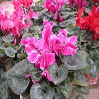 【梓诺花卉】鲜花盆栽批发 鲜花盆栽价格 鲜花盆栽图片