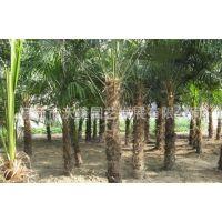 供应棕榈,棕榈苗,别名并榈、棕树、唐棕、唐棕榈、山棕、棕耙树