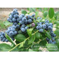 矮丛蓝莓苗,40公分蓝莓苗,兔眼、蓝丰蓝莓苗价格 哪里有蓝莓苗批发 蓝莓苗新品种