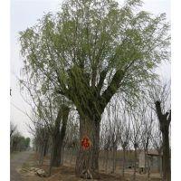 泰安直径一米柳树,直径一米柳树,聚源园林