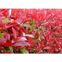 青州树春花卉(在线咨询)|苗木|苗木网站