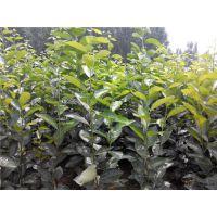 柿子树苗哪的好?泰安佳丽园艺大量供应各种品种柿子苗