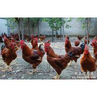 赚钱梦,养殖梦,不在是梦,红公鸡苗价格
