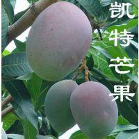 精品热销 凯特芒果苗 台湾新品种芒果大树苗