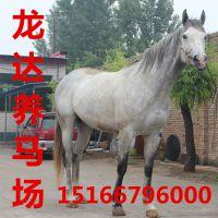 马的养殖利润养马技术马匹的价格