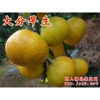 湖南常德基地批发特早熟柑橘苗品种8月份上市口感甜果子大分一号柑橘苗