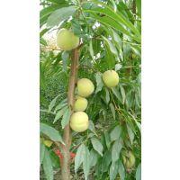 黄金蜜一号桃树苗 丰产性好的黄桃桃树苗有哪些