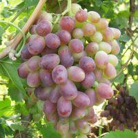 山东大泽山新品种 早熟里扎马特玫瑰牛奶 早美人指葡萄苗 南北方种植