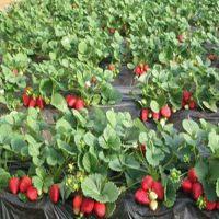 组培草莓苗 组培草莓苗栽植技术